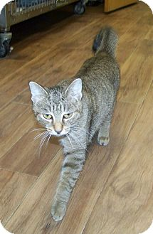Domestic Shorthair Cat for adoption in Dover, Ohio - Bubbles