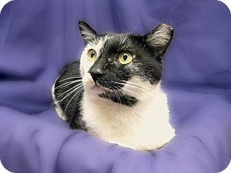 Domestic Shorthair Cat for adoption in Richmond, Virginia - Phinneas