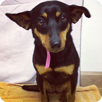 Miniature Pinscher Mix Dog for adoption in Waldorf, Maryland - Rosie