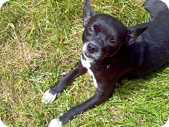 Chihuahua Mix Dog for adoption in Gig Harbor, Washington - Squirt