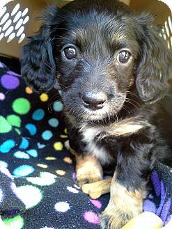Dachshund/Poodle (Miniature) Mix Puppy for adoption in Marietta, Georgia - Gretchen