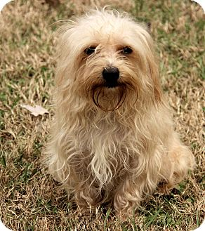 Maltese Dog for adoption in Washington, D.C. - Noah