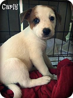 Australian Shepherd Mix Puppy for adoption in Brattleboro, Vermont - Carly