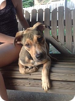 Boxer/Shepherd (Unknown Type) Mix Puppy for adoption in Media, Pennsylvania - Venus