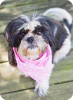 Shih Tzu Dog for adoption in Portsmouth, Rhode Island - Angel