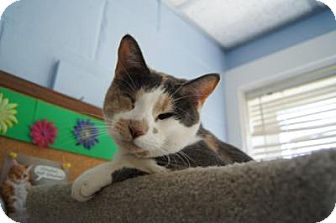 Calico Cat for adoption in New Milford, Connecticut - Rae