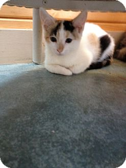 American Shorthair Kitten for adoption in Swansea, Massachusetts - Autumn