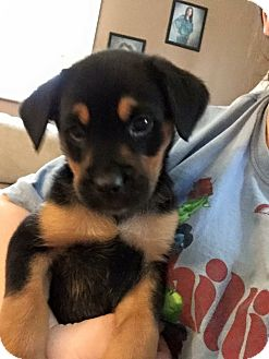 Shepherd (Unknown Type) Mix Puppy for adoption in Lima, Pennsylvania - Amber