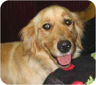Golden Retriever Dog for adoption in Cleveland, Ohio - Shelby