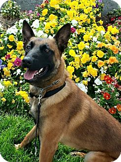 Belgian Malinois Dog for adoption in Greeneville, Tennessee - Keeley