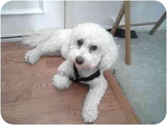 Bichon Frise Dog for adoption in La Costa, California - Casanova
