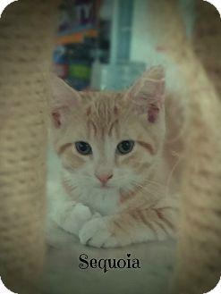 Domestic Shorthair Kitten for adoption in Glen Mills, Pennsylvania - Sequoia