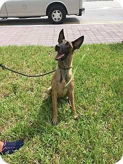 Belgian Malinois Dog for adoption in Cape Coral, Florida - Fiona