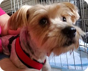 Yorkie, Yorkshire Terrier Dog for adoption in Spring, Texas - Fred