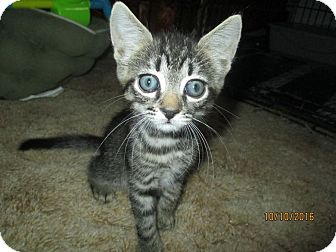Domestic Shorthair Kitten for adoption in Edgewater, Florida - Bono