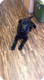 German Shepherd Dog/Labrador Retriever Mix Puppy for adoption in Huntsville, Tennessee - Rex