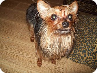 Yorkie, Yorkshire Terrier Mix Dog for adoption in Houston, Texas - Daisy Doodle