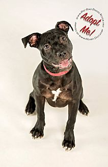 Staffordshire Bull Terrier Mix Dog for adoption in Gillsville, Georgia - Jada