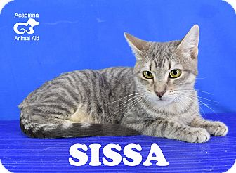 Domestic Shorthair Cat for adoption in Carencro, Louisiana - Sissa