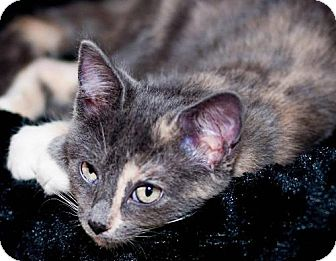 Calico Kitten for adoption in Marlton, New Jersey - Maggie Mae