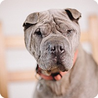 Adopt A Pet :: Rocket - Portland, OR