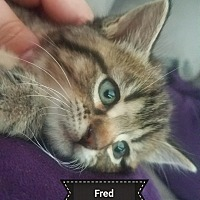 Adopt A Pet :: FRED - Millerstown, PA