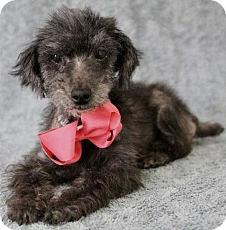 Toy Poodle Dog for adoption in Picayune, Mississippi - Jelly Bean