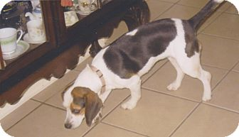 Beagle Dog for adoption in Poplarville,, Mississippi - Lucy