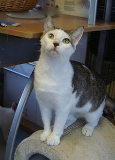 Domestic Shorthair/Domestic Shorthair Mix Cat for adoption in Englewood, Florida - Savior