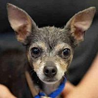 Adopt A Pet :: *STELLA - Long Beach, CA