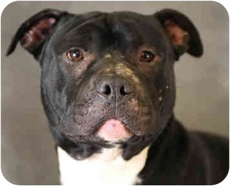 American Pit Bull Terrier/American Staffordshire Terrier Mix Dog for adoption in Chicago, Illinois - Hot Shot