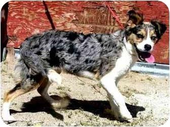 Australian Shepherd Mix Dog for adoption in San Pedro, California - PAISLEY