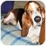 Photo 1 - Basset Hound Dog for adoption in Berkeley, California - Rickey