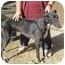 """Photo 2 - Greyhound Dog for adoption in Gerrardstown, West Virginia - Diego """"Tax Break"""""""