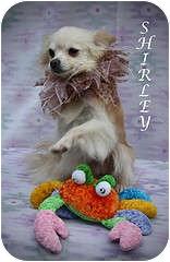Pomeranian Mix Dog for adoption in Kokomo, Indiana - Shirley