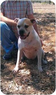 American Bulldog Dog for adoption in Burleson, Texas - Jinx