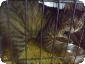 Domestic Shorthair Cat for adoption in Fort Lauderdale, Florida - Spike