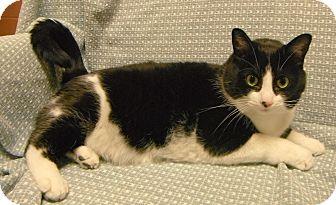 Domestic Shorthair Cat for adoption in Jackson, Michigan - Mickey