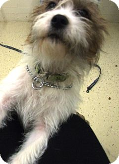 Terrier (Unknown Type, Small) Mix Dog for adoption in Kalamazoo, Michigan - Cherry