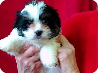 Shih Tzu/Brussels Griffon Mix Puppy for adoption in Seattle, Washington - Tabor