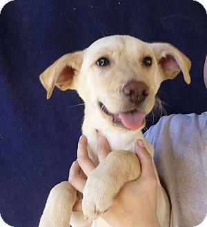 Golden Retriever/Labrador Retriever Mix Puppy for adoption in Oviedo, Florida - Ivy