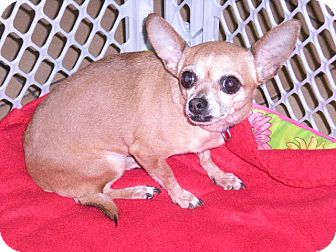 """Chihuahua Dog for adoption in New Castle, Pennsylvania - """" Cheyenne """""""