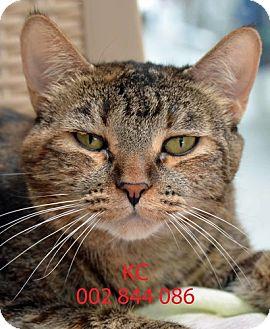 Domestic Mediumhair Cat for adoption in Diamond Springs, California - K.C.