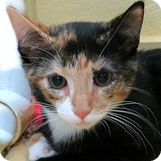 Domestic Shorthair Kitten for adoption in Columbia, Illinois - Katee