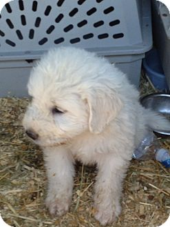 Great Pyrenees Mix Puppy for adoption in Ogden, Utah - Jane