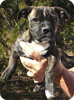 Boston Terrier Mix Puppy for adoption in Salem, New Hampshire - PUPPY CAMERON