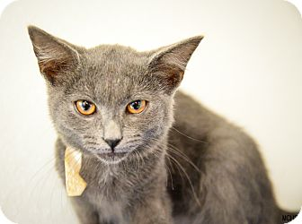 Domestic Shorthair Cat for adoption in Martinsville, Indiana - Martin