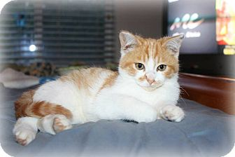 Domestic Mediumhair Kitten for adoption in Yuba City, California - Dodger