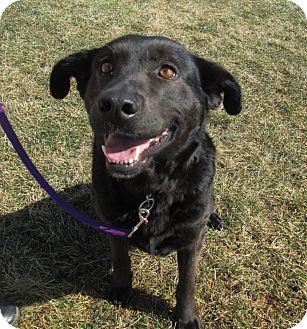 Labrador Retriever/Shepherd (Unknown Type) Mix Dog for adoption in LaGrange, Kentucky - RAVEN