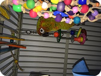 Conure for adoption in Punta Gorda, Florida - Rascal